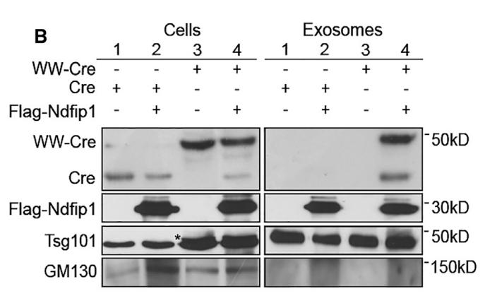 如何利用外泌体装载具有生物活性的蛋白质?