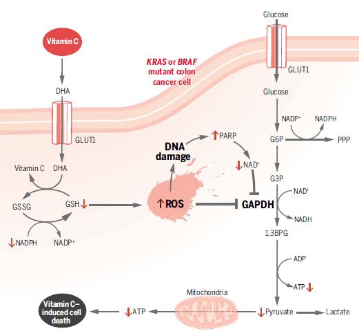 维生素C也有潜力成为肿瘤靶向药物!