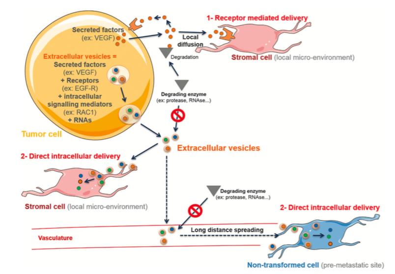 """【综述】细胞外囊泡""""占领""""肿瘤微环境:从肿瘤-基质间的通讯到药物干预"""