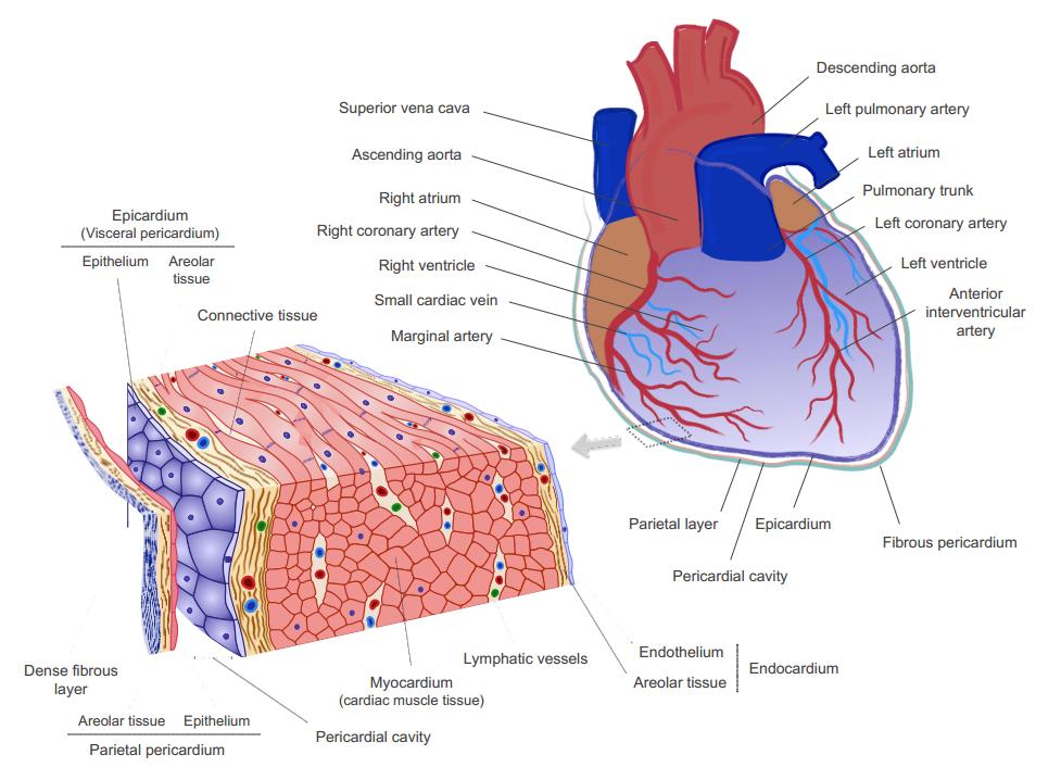 心包液外泌体富含心血管源miRNAs具有促进血管新生的功能